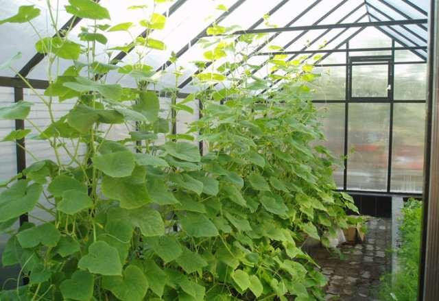 В холодных регионах России выращивать огурцы можно в теплице