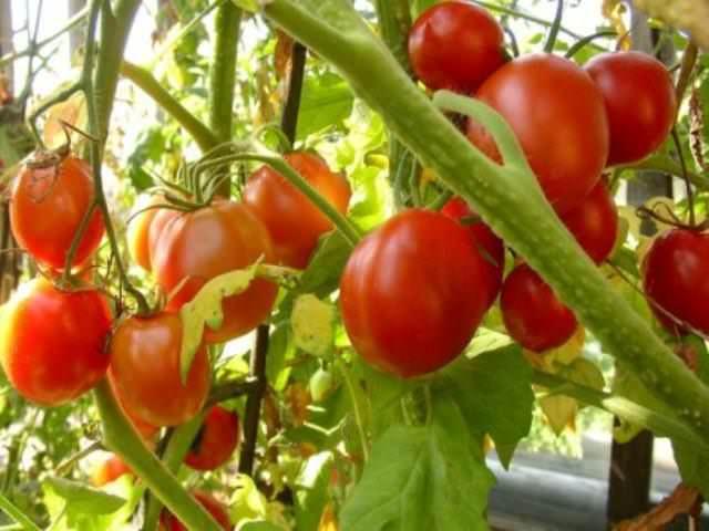 Как выращивать томаты в теплице? После посадки их не поливают в продолжение двух недель. Затем растения рекомендуется привязать к шпалерам