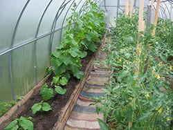 Совместная посадка огурцов и помидоров в одной теплице