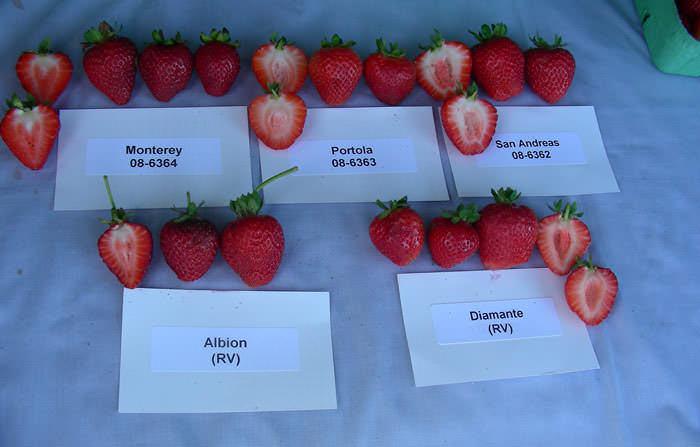 Для посадки в теплице следует выбирать самые урожайные сорта клубники
