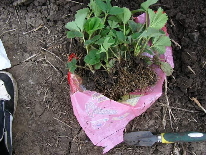 Один из важных моментов соблюдения агротехники – выбор качественного посадочного материала. Рекомендовано использовать качественную рассаду