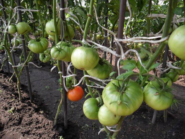 Осуществляя подвязку помидоров в теплице, следует действовать исходя из сорта