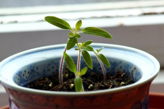 В первой декаде апреля продолжается посев на получение качественной и крепкой рассады томатов
