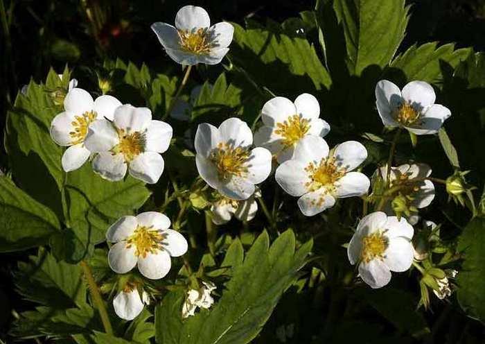 Клубника «Альбион» характеризуется непрерывностью цветения и формированием цветочных почек в условиях нейтрального дня