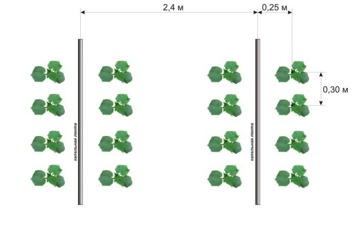 Схема посадки сорта «Изумрудный поток» стандартная – 70 х 30 сантиметров