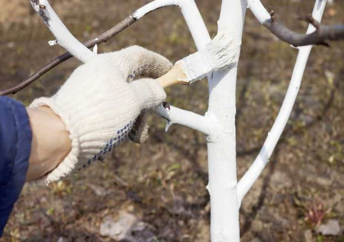 После листопада проводится побелка штамба абрикоса «Фаворит»