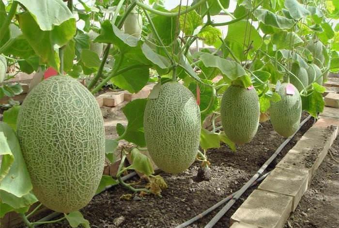 Дыня «Торпеда» – южное, теплолюбивое растение, поэтому в средней полосе ее лучше выращивать в остекленном парнике либо теплице