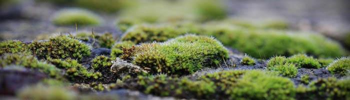 Кислый грунт - благоприятная среда для появления мхов. Мох - растения, превращающиеся в зеленый ковер в результате потребления углекислоты, минеральных солей и воды из почвы