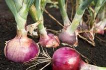 Как грамотно посадить и вырастить лук в теплице