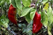 Основные проблемы при выращивании тепличного перца и способы их решения