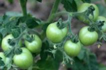 Почему плохо краснеют помидоры в теплице и как справиться с проблемой