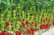 Особенности выращивания тепличных томатов