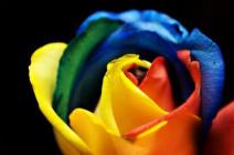 Радужная роза – миф или реальность