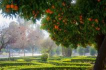 Как выглядит апельсиновое дерево