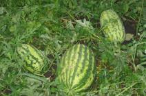 Особенности выращивания арбузов в Подмосковье