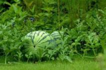 Особенности технологии выращивания тепличных арбузов