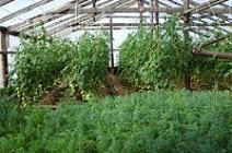 Совместимость растений в теплице: основные правила