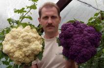 Выбор сорта и особенности выращивания цветной капусты в тепличных условиях
