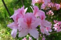 Особенности выращивания рододендрона