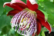 Пассифлора: технология ухода и выращивания красивоцветущего экзота в домашних условиях