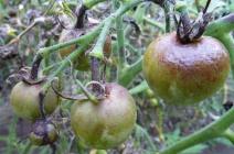 Фитофтора на тепличных помидорах: признаки поражения и методы лечения