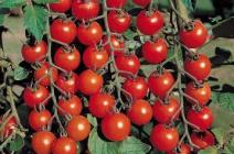Томат Рапунцель: описание сорта и технология выращивания на балконе