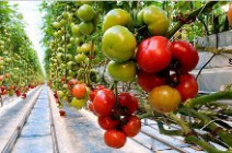 Как правильно ухаживать за тепличными помидорами в июле