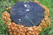 Как вырастить грибы на приусадебном участке