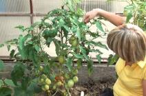 Сорта ранних томатов: преимущества и правила ухода