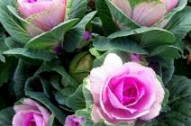 Диковинная декоративная капуста для украшения сада