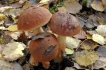 Видовое разнообразие грибов Башкирии