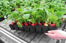 Когда сажать редиску в теплице: правила отличного урожая