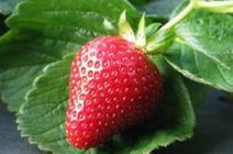 Клубника «Альбион»: особенности тепличного выращивания