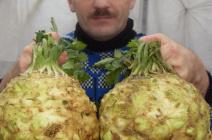Характеристика и особенности выращивания корневого сельдерея в теплице