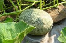 Как вырастить дыню в открытом грунте: критерии выбора сорта и особенности агротехники