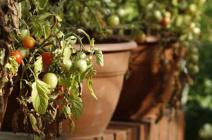 Причины засыхания листьев, плодов и кустов томатов, выращиваемых в теплице