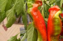 Перец «Какаду»: сортовые особенности и правила выращивания