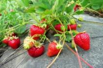 Лучшие сорта клубники для выращивания в тепличных условиях