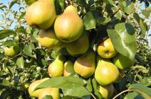 Груша «Лада»: особенности культивирования популярного сорта