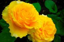 Желтые розы: характеристика лучших видов и правила сочетания с другими растениями