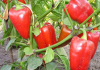 Правила тепличного выращивания культур