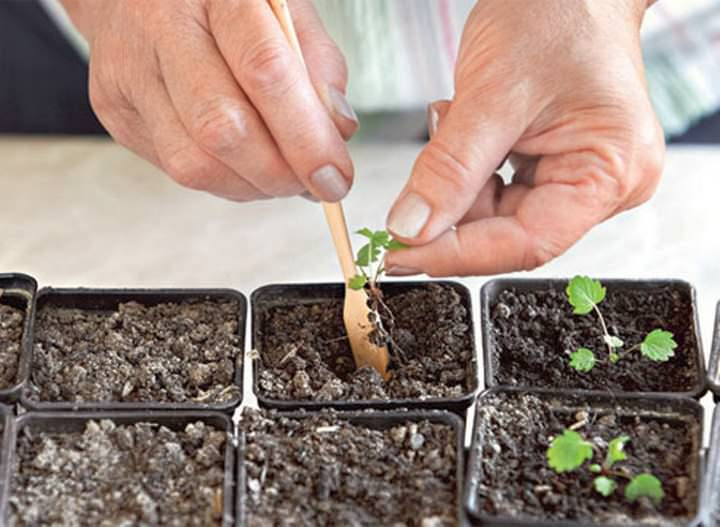 Кустики пересаживаются в ящики с ячеечками или горшочки