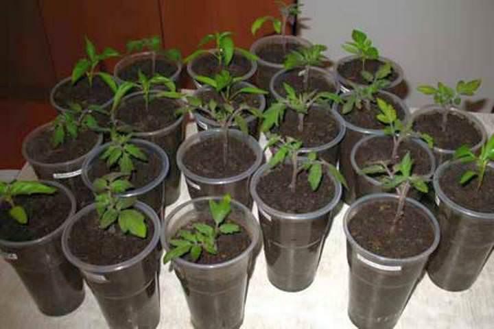 Контейнеры или стаканчики из пластика – очень удобные емкости для выращивания рассады