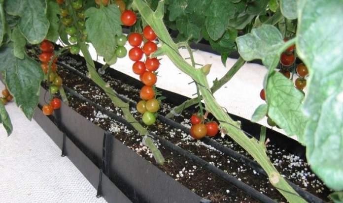 Уход за томатами заключается в обеспечении правильного полива – он должен проводиться только под корень