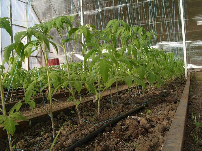 Сажать томаты рекомендуется в сооружениях из поликарбоната