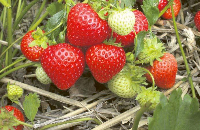 Земляника ремонтантная отличается от обычной тем, что уже после первого плодоношения она начинает завязывать новые плоды