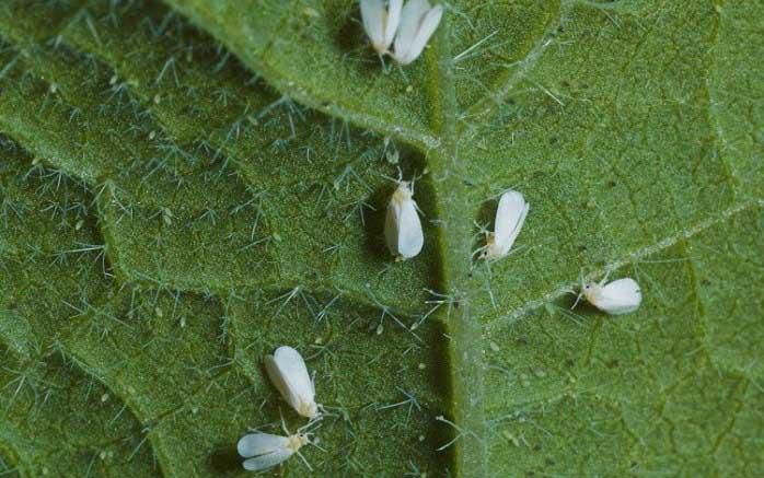 Белокрылка – опасное насекомое-вредитель, заселяющее нижнюю часть листьев