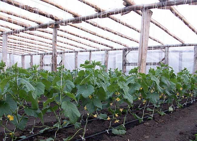 Создание и контроль оптимальных условий для правильного роста и стабильного развития огурцов способствует удлинению вегетационного периода и сроков плодоношения