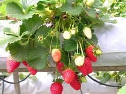 Правильно подобранные сорта клубники позволяют получить хороший урожай за короткое время