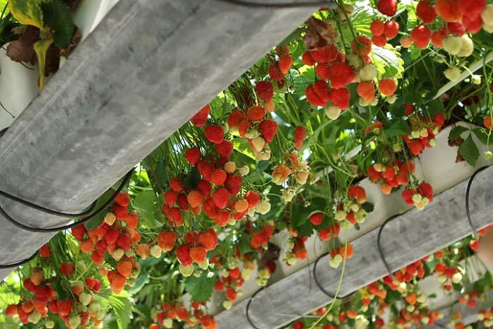 Для тепличного культивирования можно использовать и клубнику обычных сортов